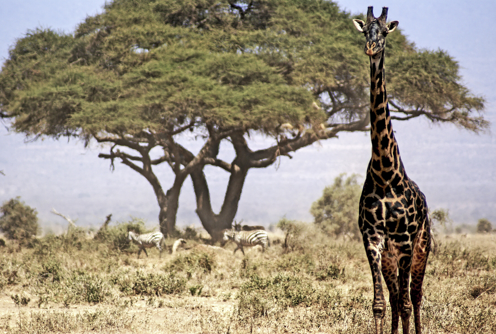 Giraffe | 2008