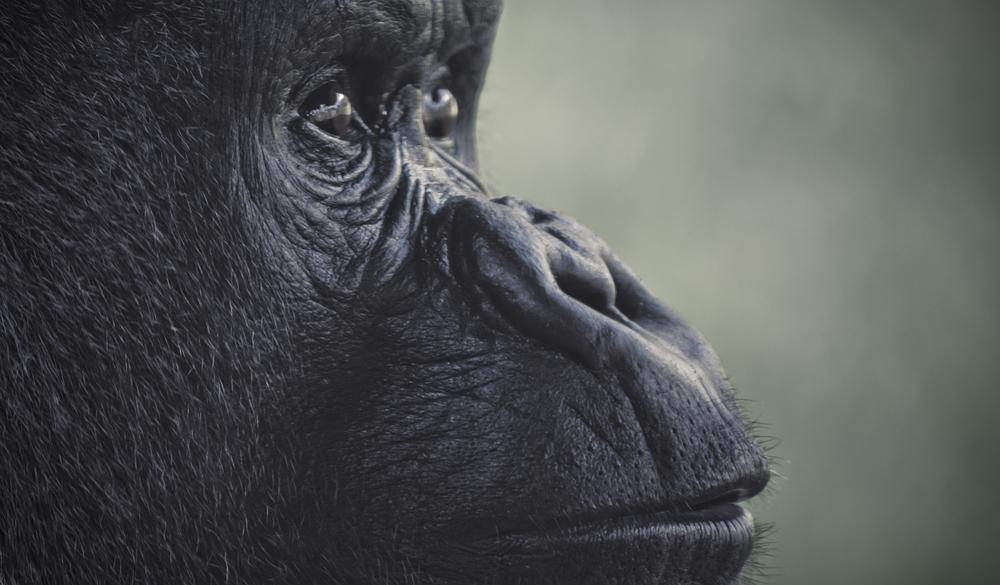 Gorilla | 2012