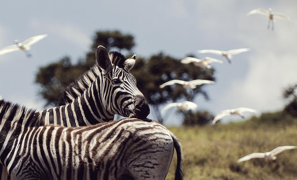 Tala Zebra | 2012