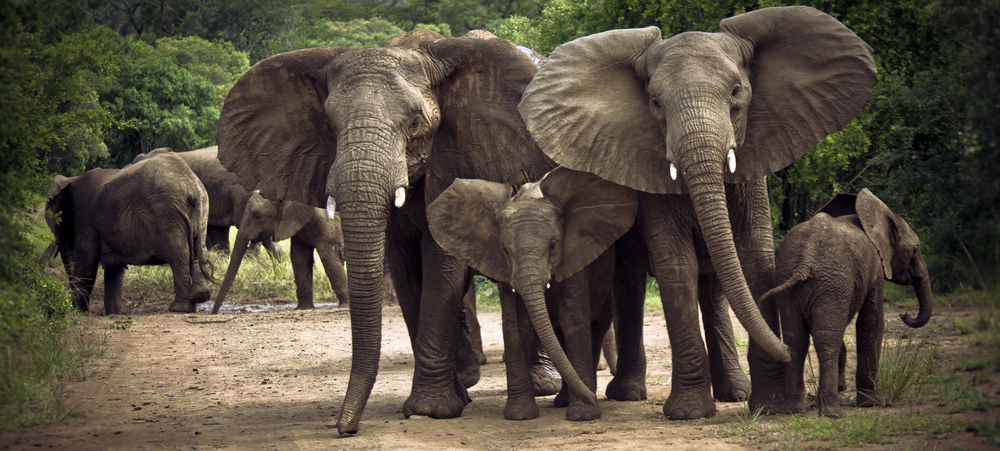Hluhluwe Elephants | 2011