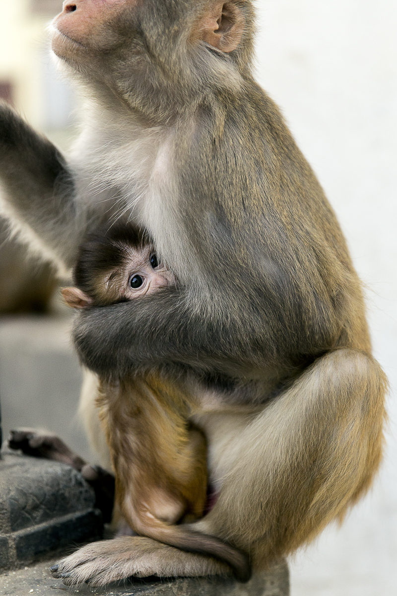 Monkey Temple Mother | 2015