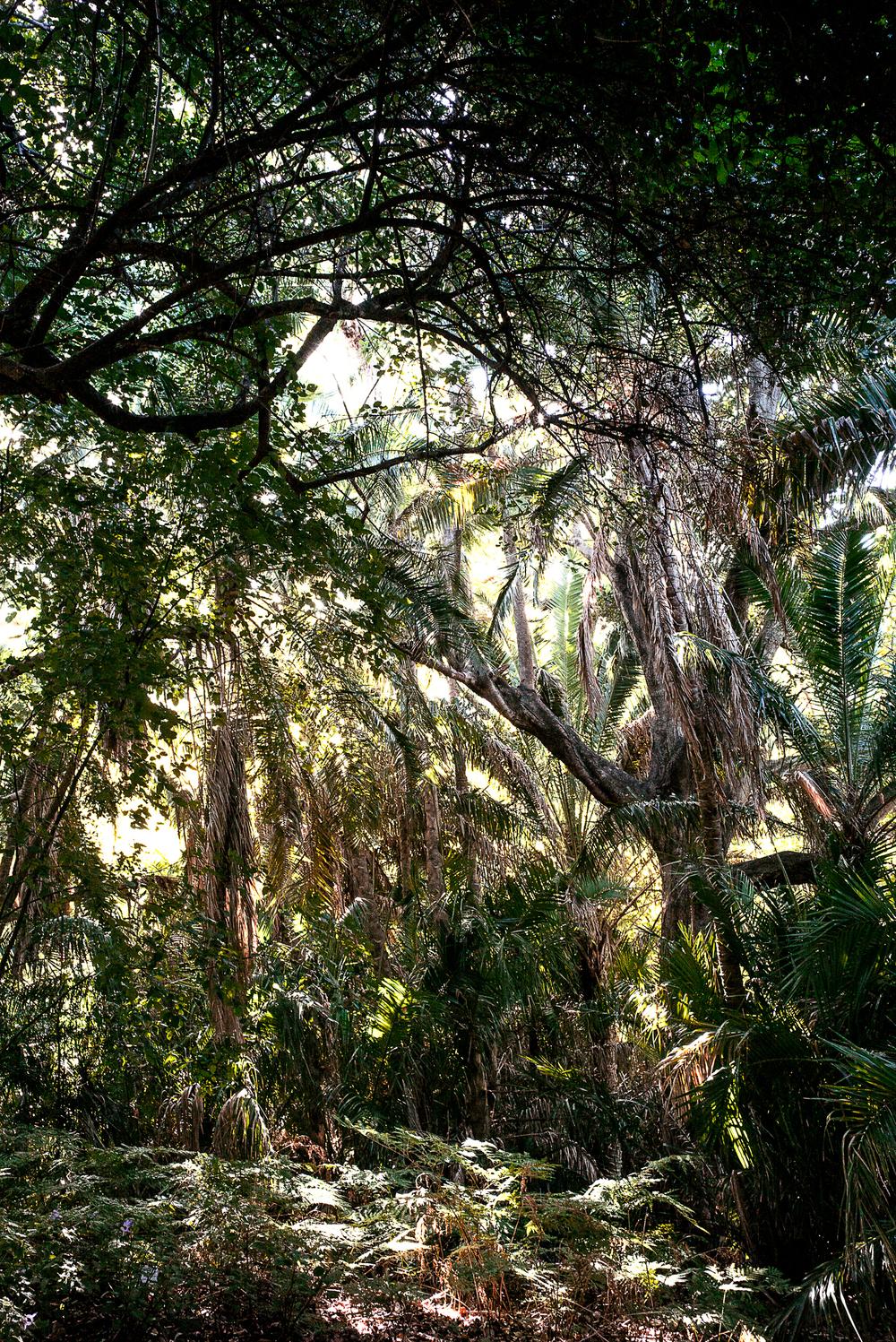 Kirstenbosch Trees | 2016