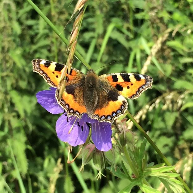 Tortoiseshell Butterfly on meadow cranesbill (wild geranium)