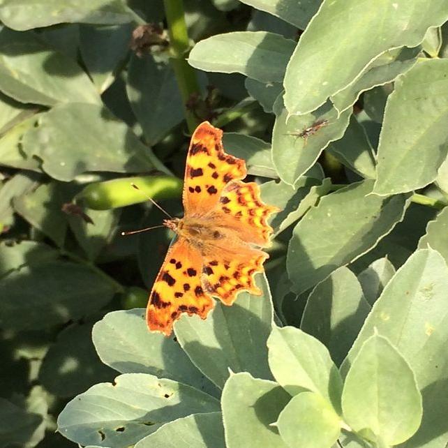 Comma Butterfly