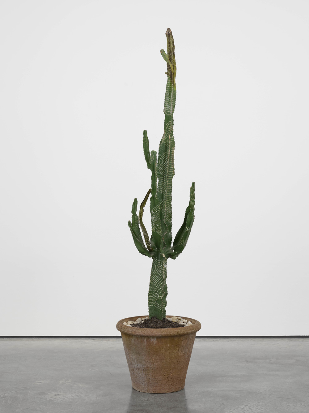 Biggy 2014 Cactus Dimensions variable