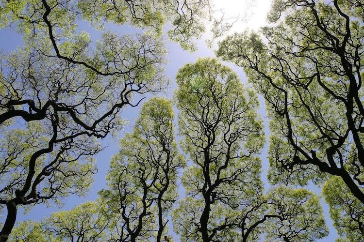 The Crown Shyness Phenomenon,  via  My Modern Met