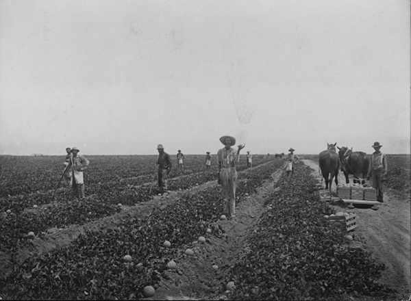 Growing cantaloupes near Brawley, circa 1910 |Courtesy of University of Southern California, California Historical Society Collection, 1860-1960