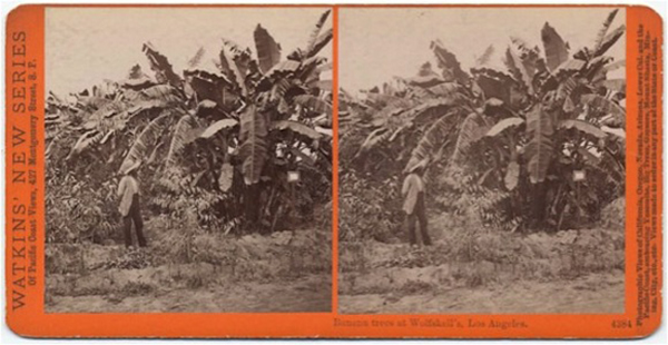 """Banana Trees at Wolfskill's, Los Angeles, Cal."", Stereoview by Carleton Watkins, 1876-1880 