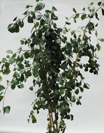 Ficus Triagularus