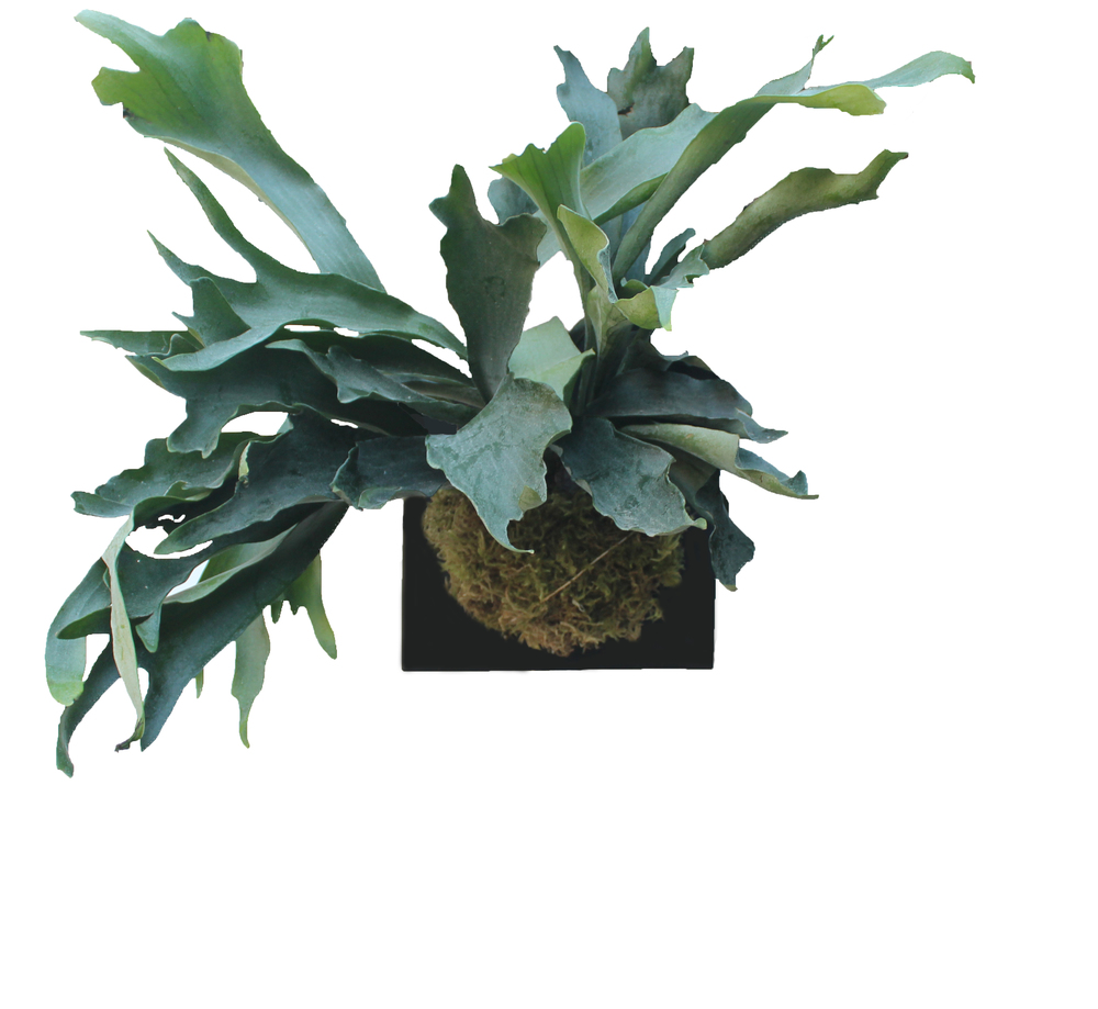 Staghorn-Medium.jpg