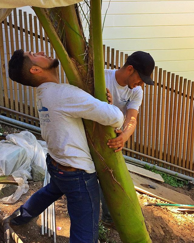Planting a forest of specimen shaving brush palms on Belvedere Island! #coastalgardening #greenlife #livinggreendesign #rhopalostylis #boyswithplants #exoticplants #subtropicalgarden #marincounty #newzealandplants