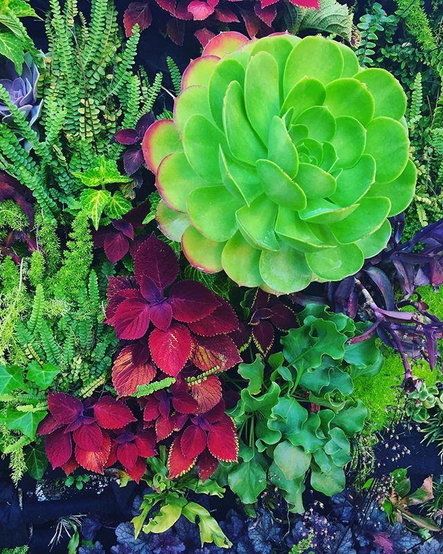 #plantsmakepeoplehappy #plantsmakepeoplehappy #livinggreendesign #verticalgarden #succulents #aeonium #coleus #livingwall #maringardens
