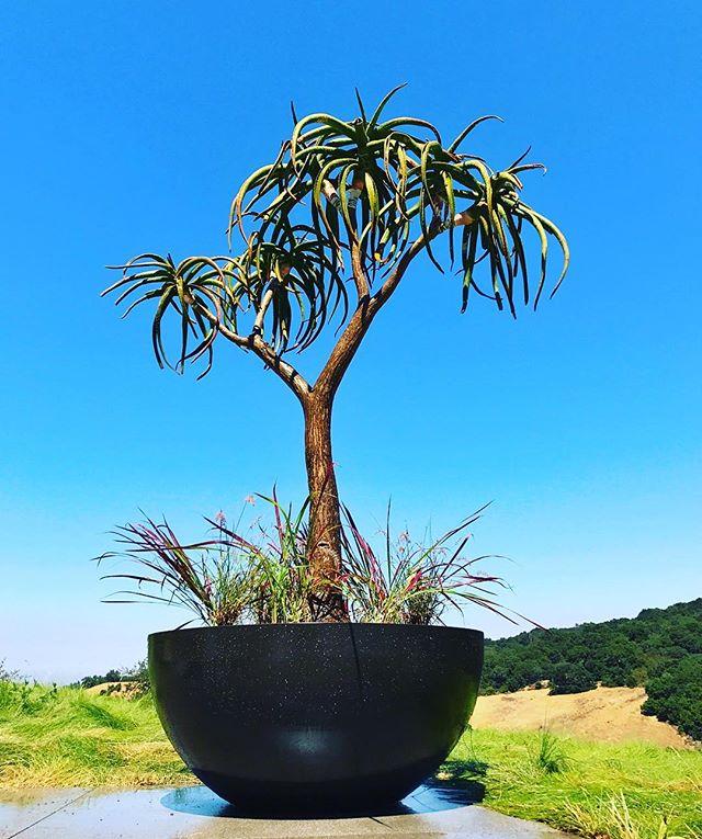 #livinggreendesign #aloebainesii #moderngarden #orecontainers #exoticgarden #gardenfeature