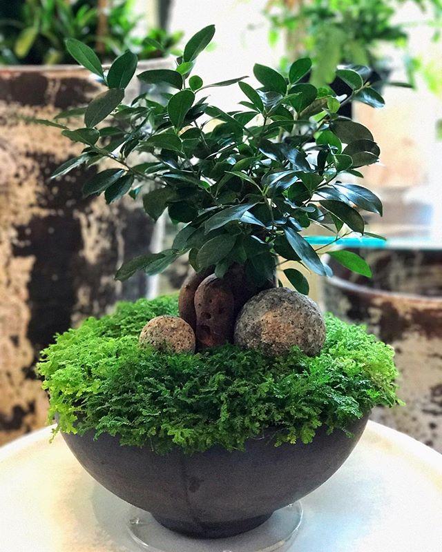 #livinggreendesign #bonsaitree #indoorplants #ficus #selaginella #moderncontainerconcepts #plantstore #moderngarden #granitesculpture