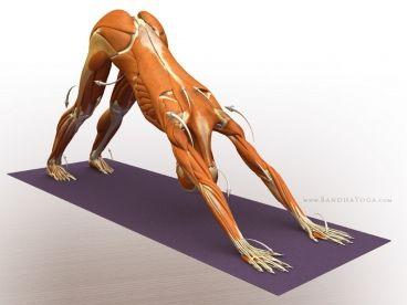 491-adho-mukha-svanasana--downward-facing-dog-pose-exploration.jpg