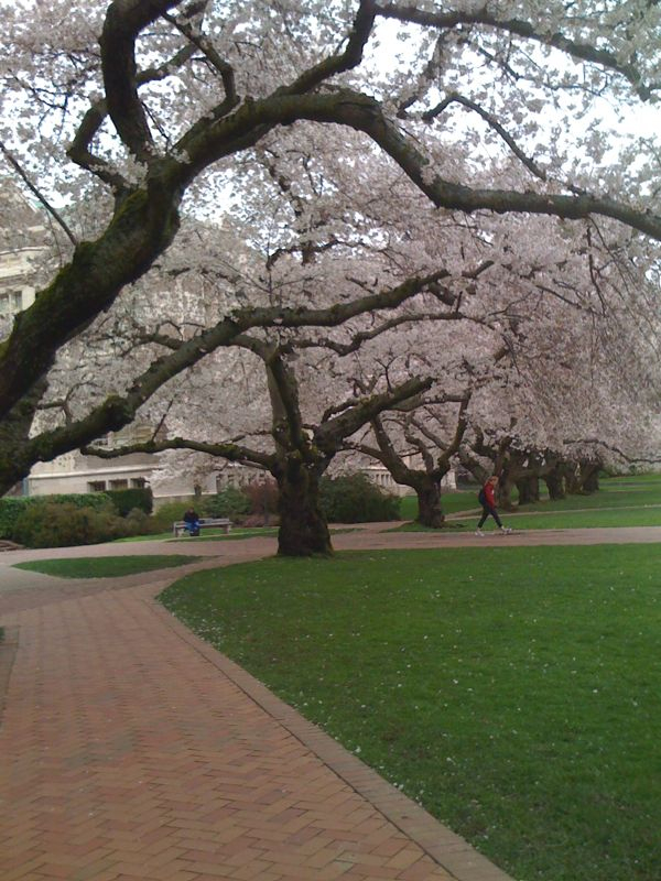 The cherry trees have bloomed on the quad. UW has the most beautiful campus.