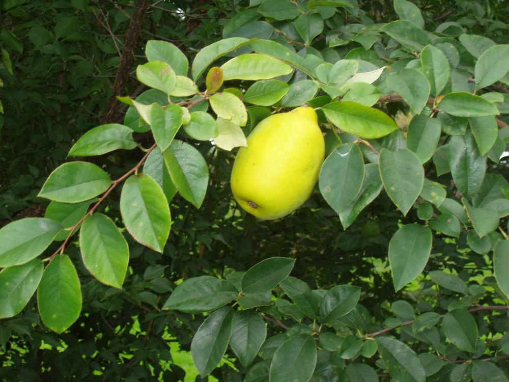 "Chinese quince, a distinct species from the European quince, was recently demoted, in its latin name at least, to a "" psuedo quince,""   psuedocydonia."