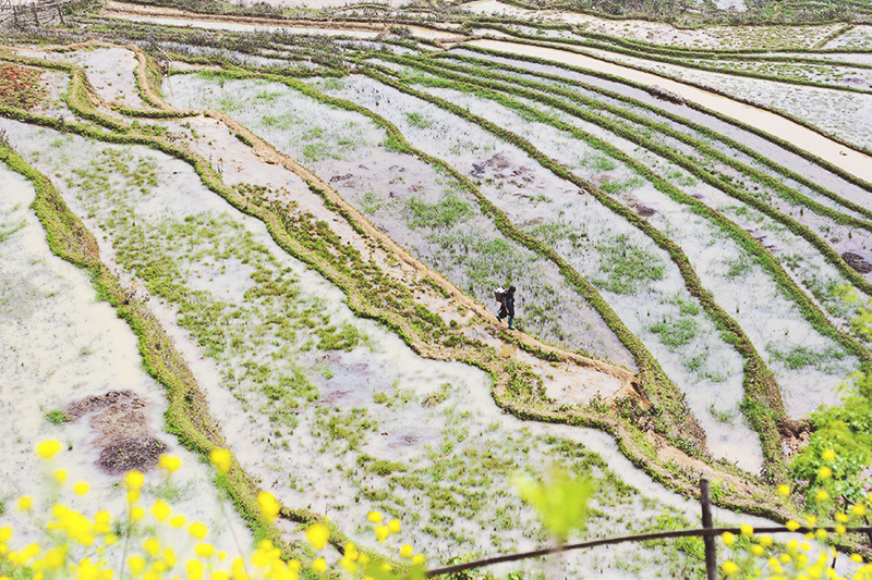 rice fields.jpg