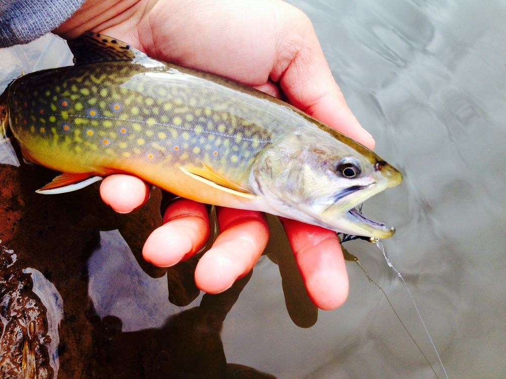 Is there a better looking fish than a Brook Trout in its fall colors?  The inland trout rivers are in great shape right now.