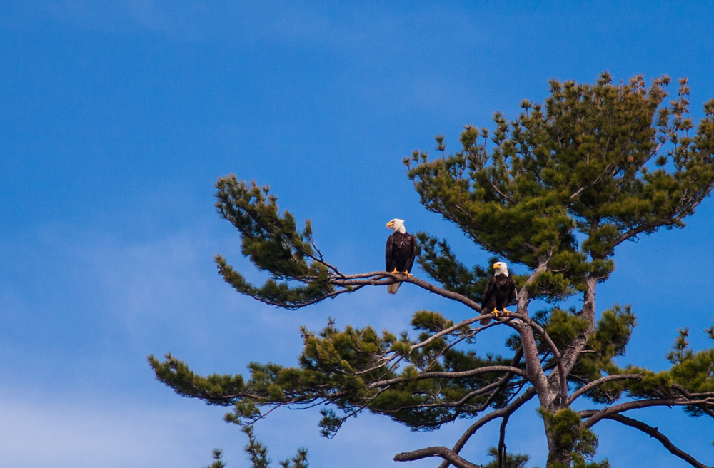 Lots of eagles keeping watch on the Bay this spring.