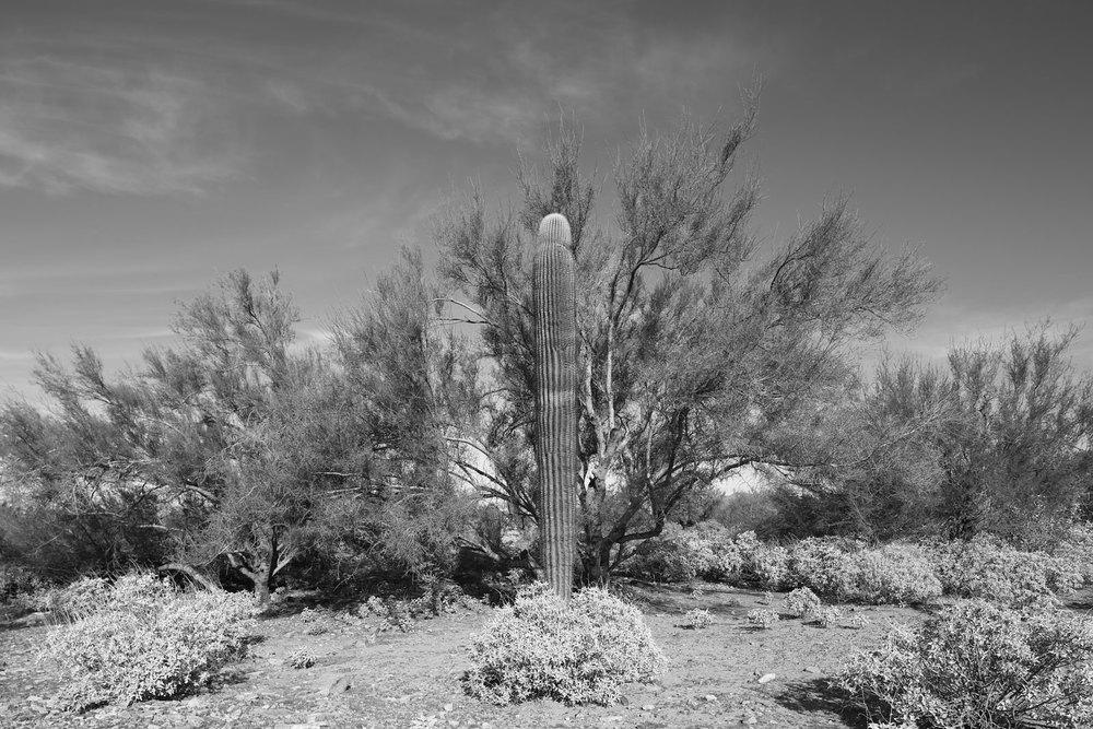 Saguaro and Palo Verde symbiosis