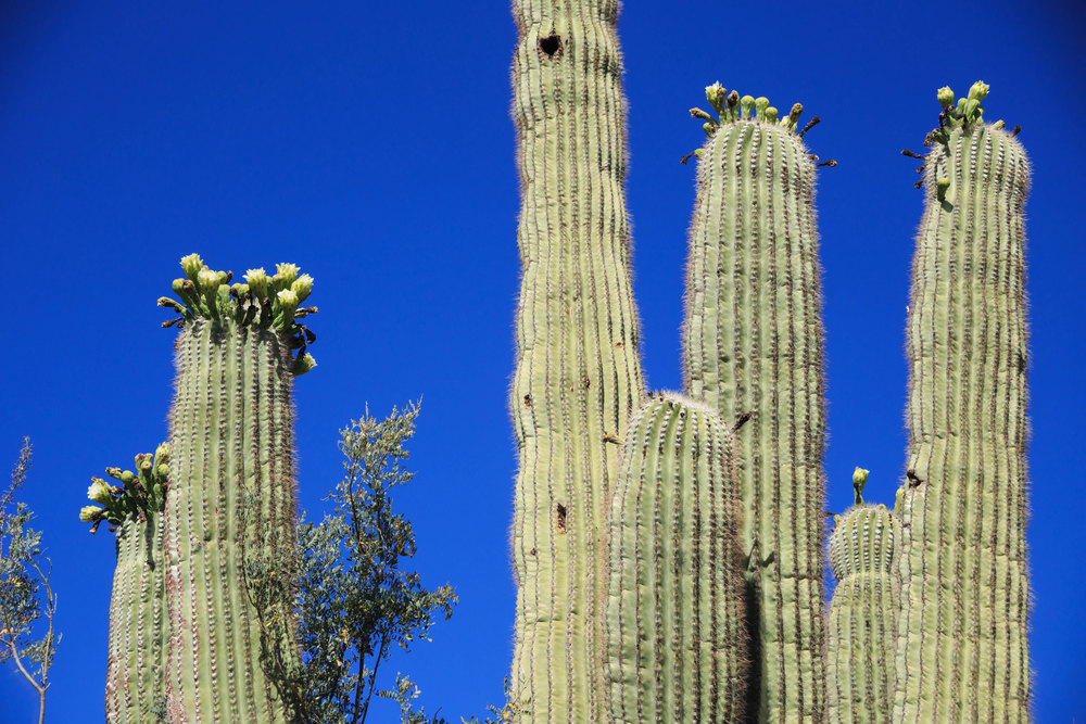 saguaro-6.jpg