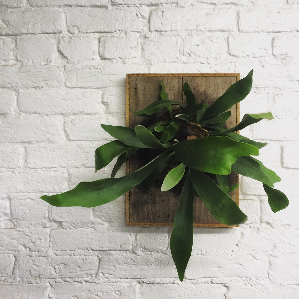 Staghorn Fern on Cedar