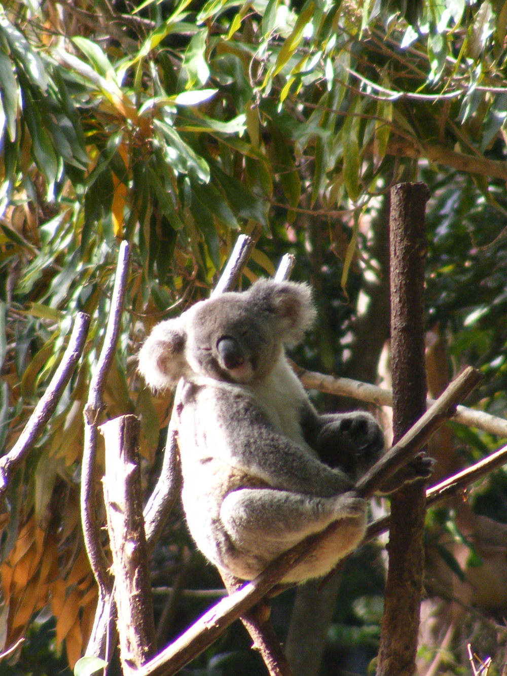 Koala at the Currumbin Sanctuary