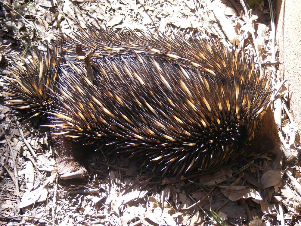 Echidna (Aussie Porcupine)