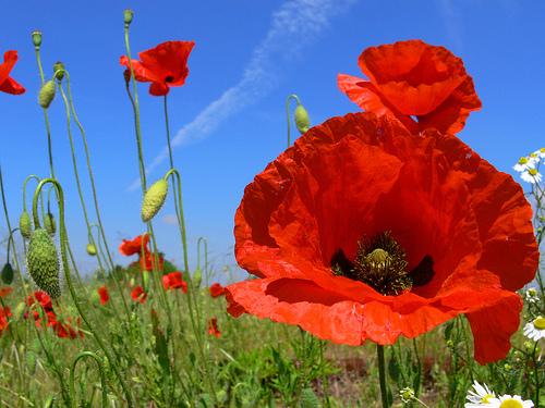 poppy-flower-9-2.jpg