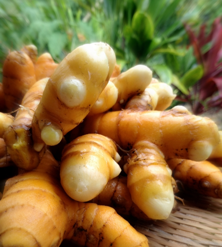 Freshly harvested turmeric or Hawaiian Olena here on Luana Farm