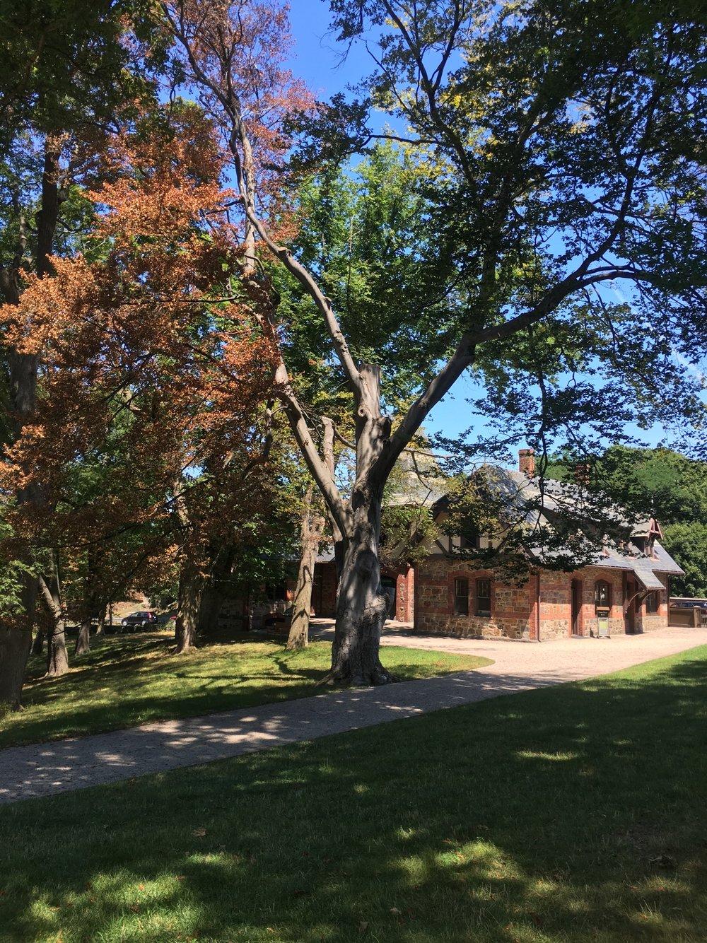 John Adams Beech Tree