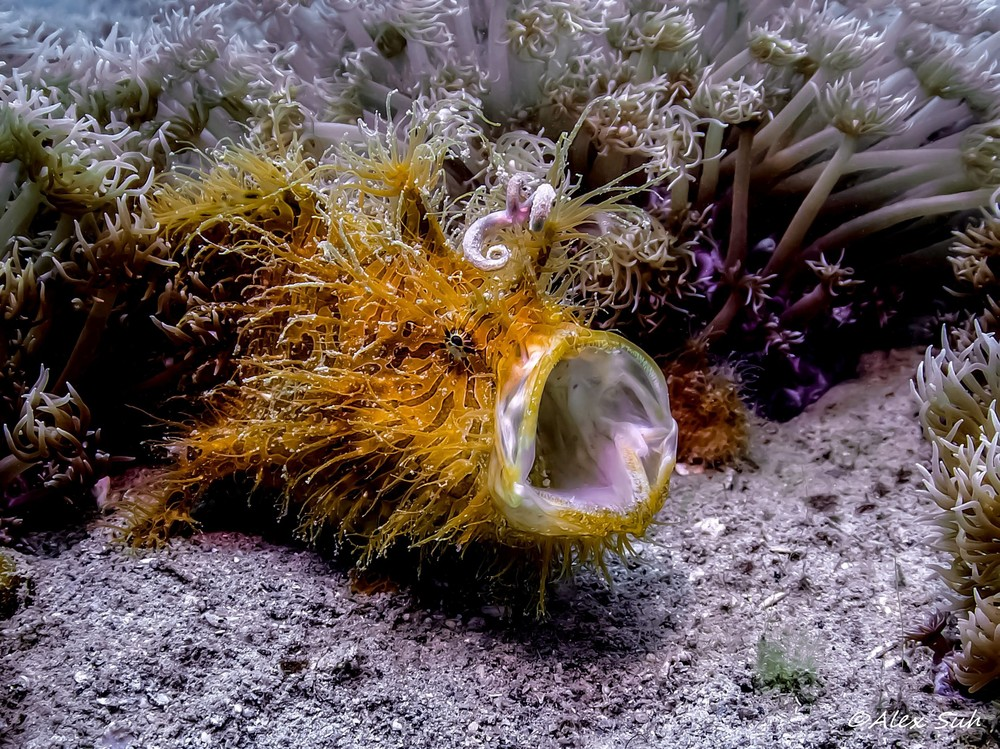 Hairy Frogfish Yawning