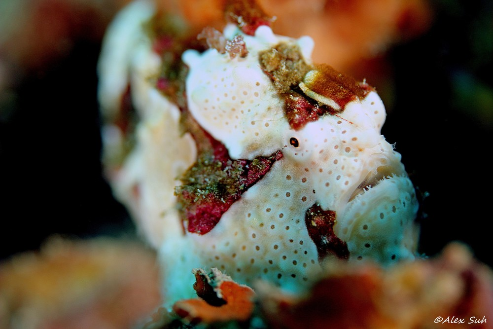 Warted Clown Frogfish