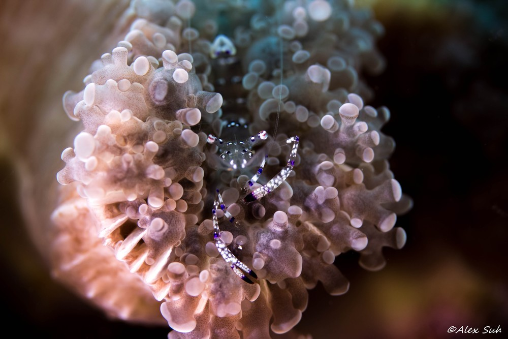 Graceful Anemone Shrimp (Ancylomenes venustus)
