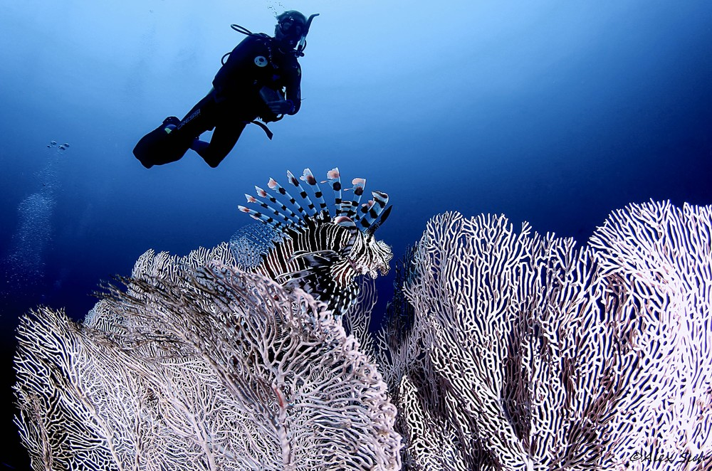 Giant Sea Fan & Lion Fish