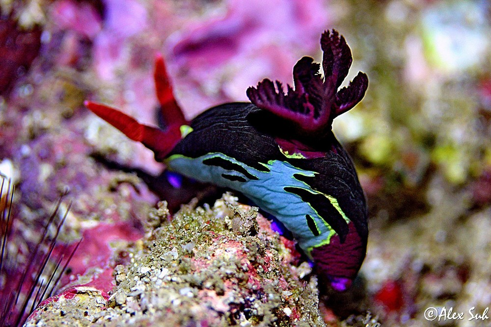 Indian Nudibranch (Indian Phidiana/Phidiana Indica)