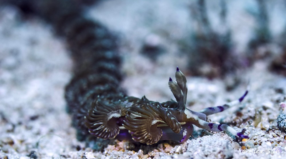 Dragon Nudibranch (Pteraeolidia ianthina)