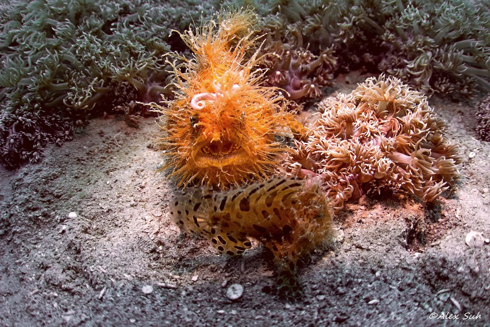 Female Hairy Frogfish and Male