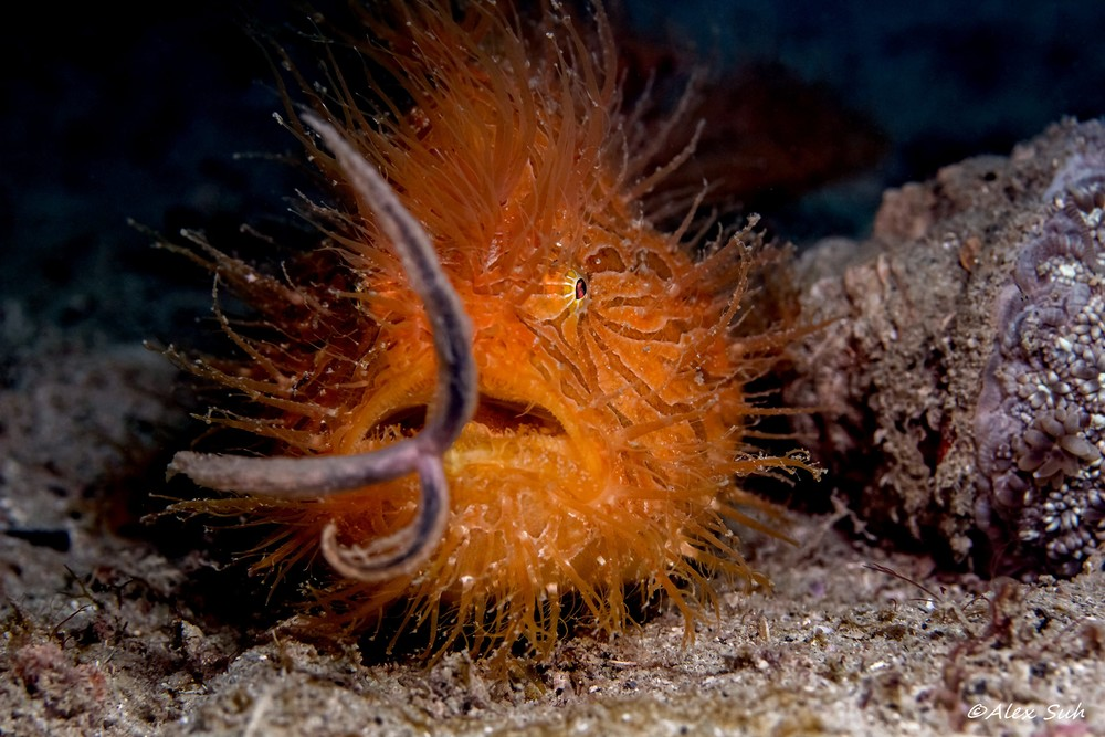 Hairy Frogfish Wiggling Worm