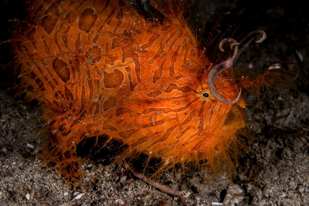 Hairy Frogfish Side View