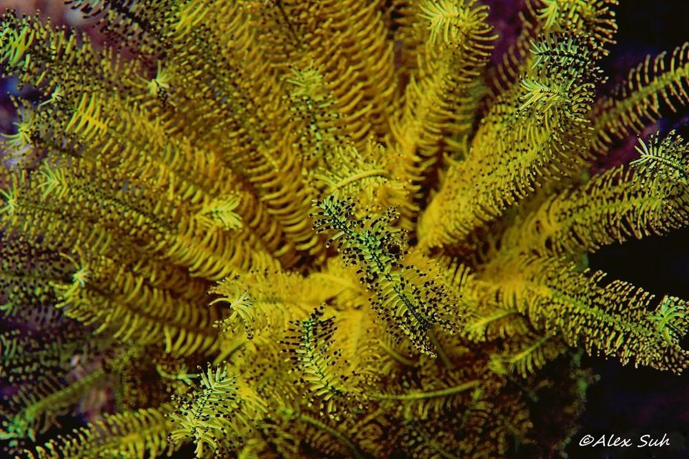 Yellow Crinoid