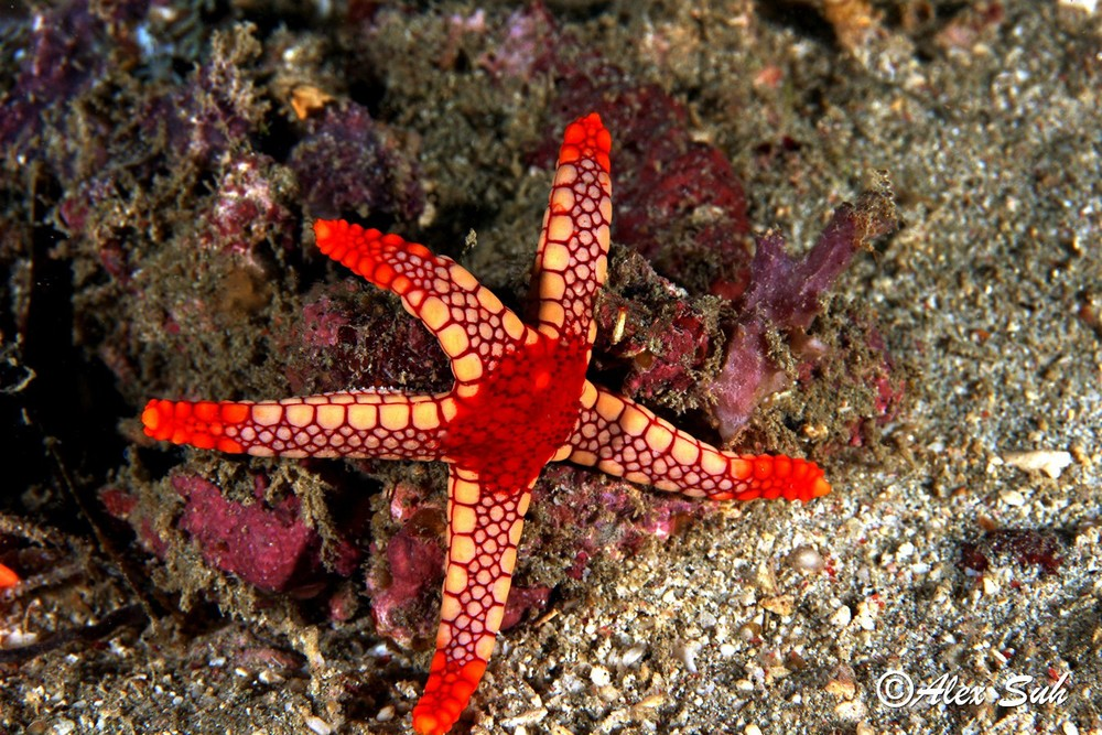 Peppermint Sea Star, Fromia monilis