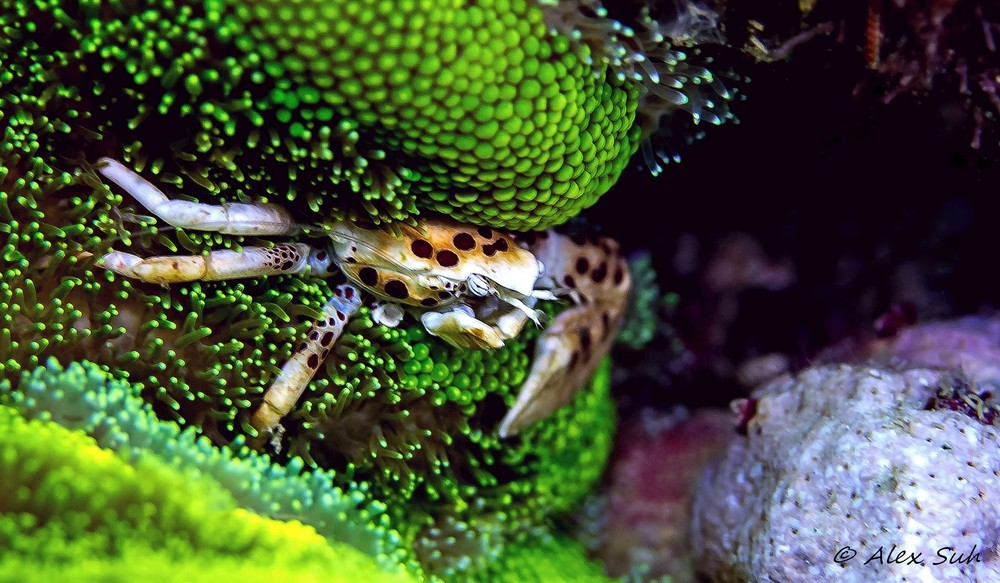 Anenome Crab 2.jpg