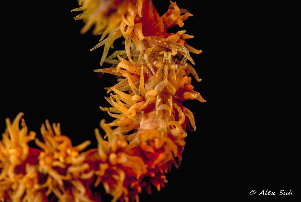 Zanzibar Whip Coral Shrimp (Dasycans zanzibarca)