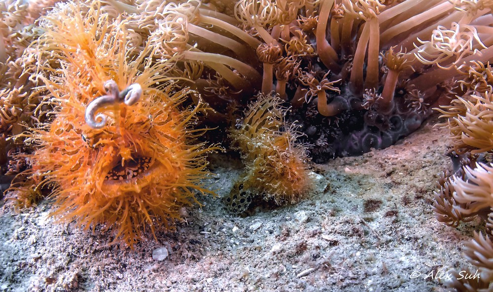Female Hairy Frogfish (Antennarius striatus)  & Male Side by Side