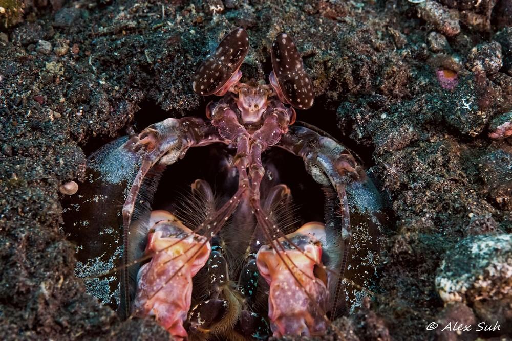Tiger Mantis Shrimp (Lysiosquilla maculata)