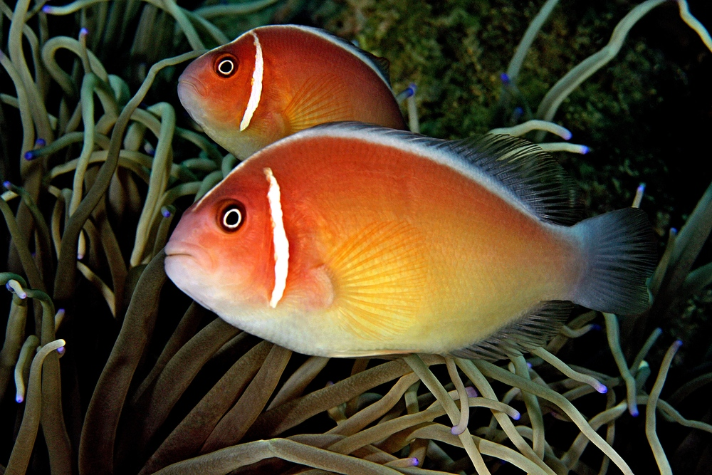 Related keywords suggestions for skunk clownfish for Clown fish for sale