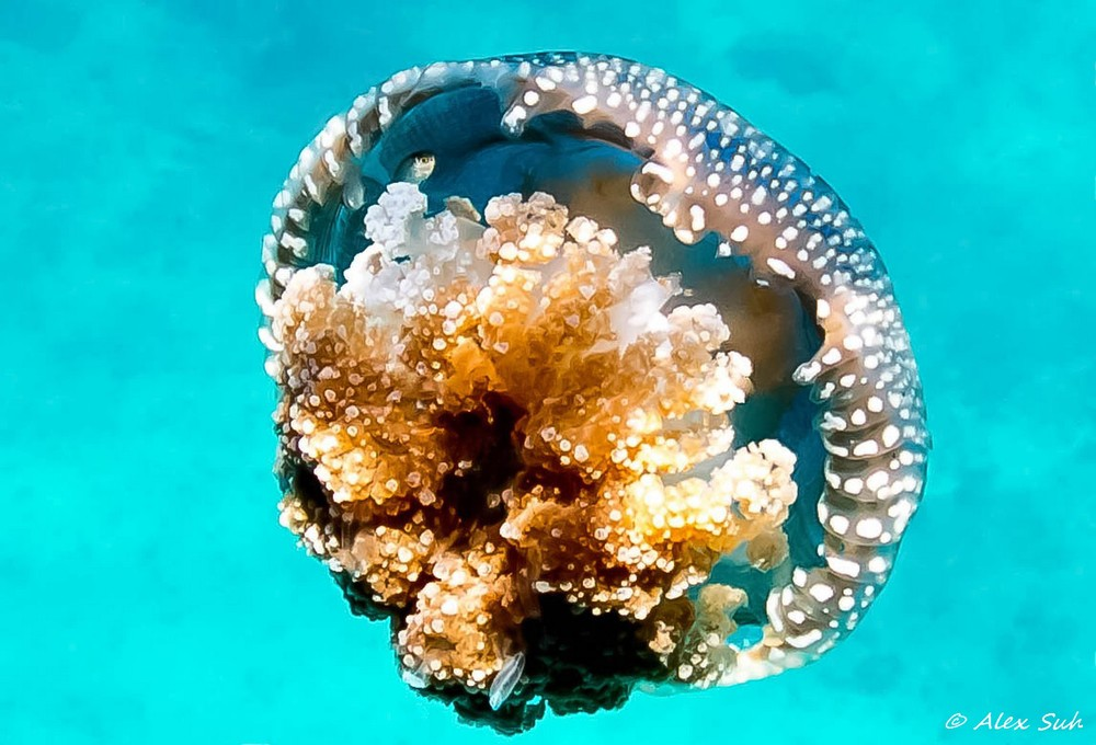 Jelly Fish Sheltering Fish