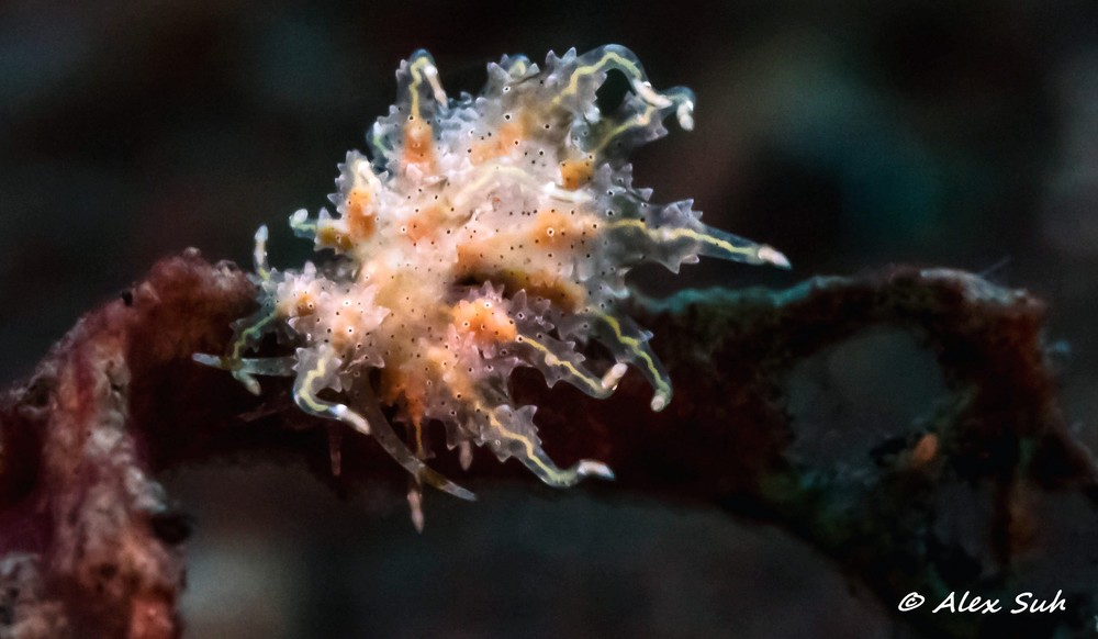 Virgin Nudibranch (Eubranchus virginalis)